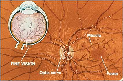 Diagram of the macula in the eye